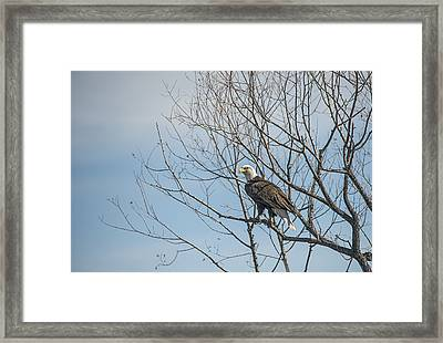 American Bald Eagle In A Tree Framed Print by Loree Johnson