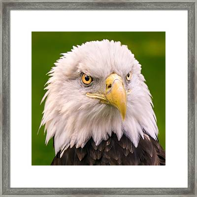 American Bald Eagle  Framed Print by Jim Hughes