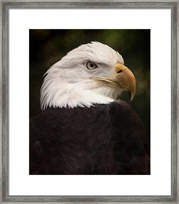 American Bald Eagle Framed Print by Joseph G Holland
