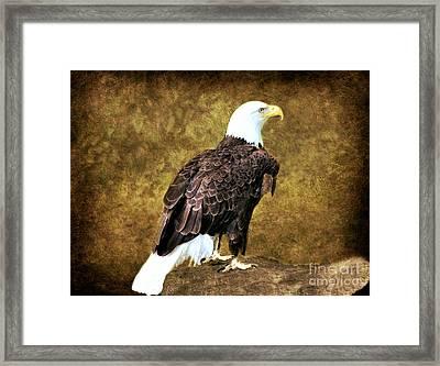 American Bald Eagle Framed Print by Judy Palkimas