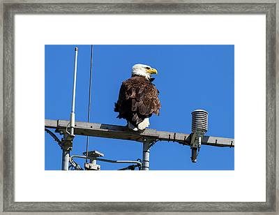 American Bald Eagle On Communication Tower Framed Print by David Gn