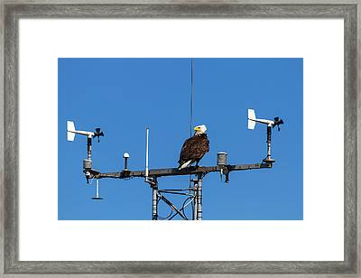 American Bald Eagle Perched On Communication Tower Framed Print by David Gn