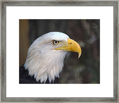 American Bald Eagle Framed Print by Peter Gray