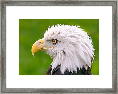 American Bald Eagle Profile Framed Print by Jim Hughes