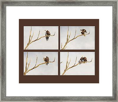 American Bald Eagle Progression Framed Print by James BO  Insogna