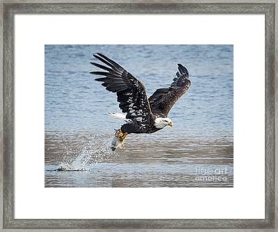 American Bald Eagle Taking Off Framed Print by Ricky L Jones