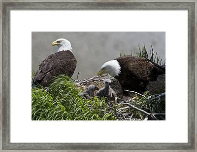 American Bald Eagles, Haliaeetus Framed Print