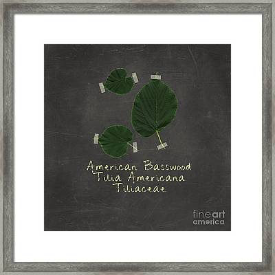 American Basswood Leaves Framed Print by Emily Kay