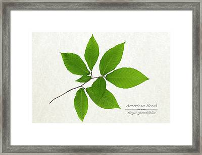 American Beech Framed Print by Christina Rollo