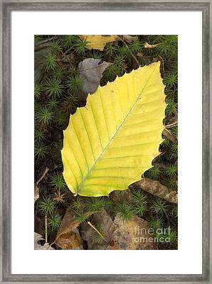 American Beech Leaf Framed Print by Erin Paul Donovan