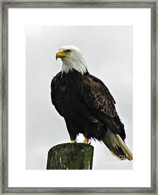 American  Bird Framed Print by Robert Bales
