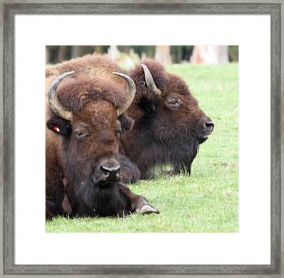 American Bison - Buffalo - 0011 Framed Print by S and S Photo