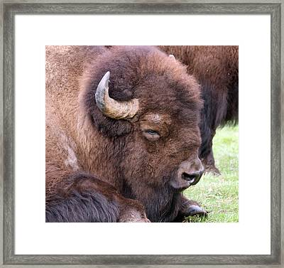 American Bison - Buffalo - 0012 Framed Print by S and S Photo