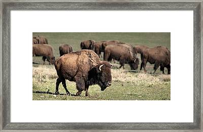 Framed Print featuring the photograph American Bison 5 by James Sage
