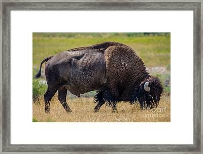 American Bison - Antelope Island - Utah Framed Print by Gary Whitton
