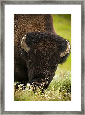 American Bison Framed Print by Chad Davis