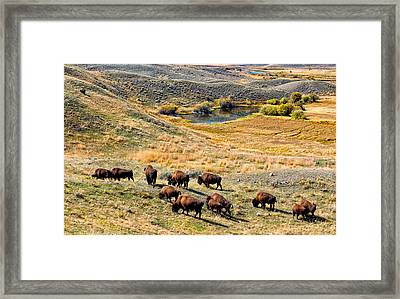 American Bison In Autumn Framed Print