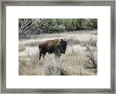 American Bison Framed Print by Phyllis Taylor