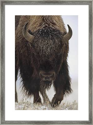 American Bison Portrait In Snow North Framed Print