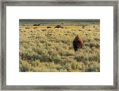 American Bison Framed Print by Sebastian Musial