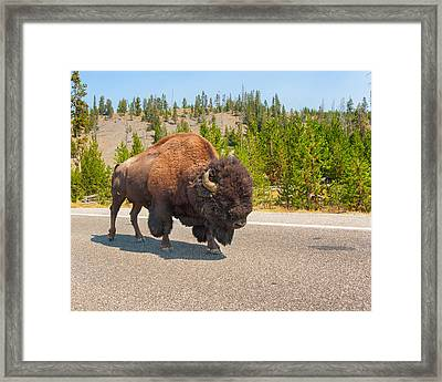 American Bison Sharing The Road In Yellowstone Framed Print