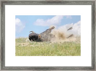 American Bison Taking A Dirt Bath Framed Print
