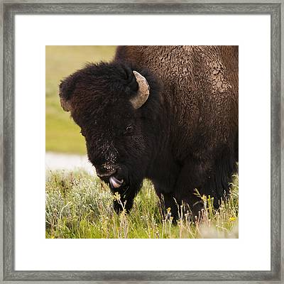 American Bison Tongue Framed Print by Chad Davis