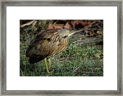 Framed Print featuring the photograph American Bittern by Douglas Stucky