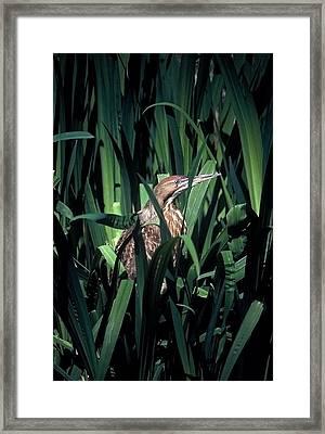American Bittern Framed Print by Robert Ashbaugh