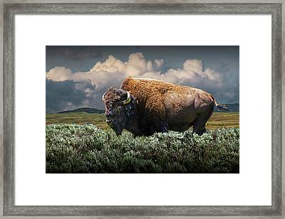 American Buffalo Bison In Yellowstone National Park Framed Print