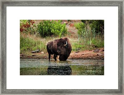 American Bull Bison Creekside Framed Print by Robert Frederick