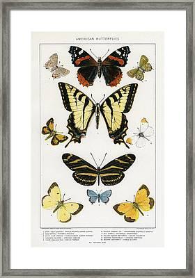 American Butterflies Framed Print by Julius Bien