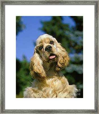 American Cocker Spaniel Framed Print by Gerard Lacz