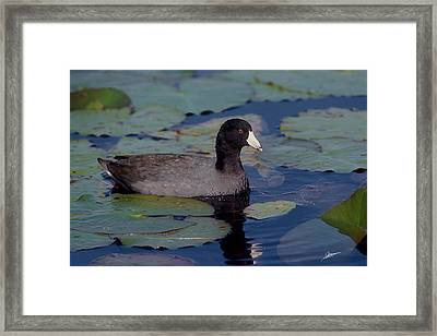 American Coot Framed Print by Phil Jensen