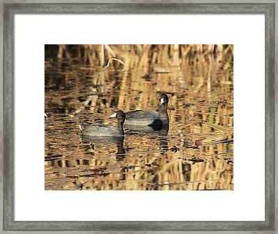 American Coots Framed Print by Jerry Battle