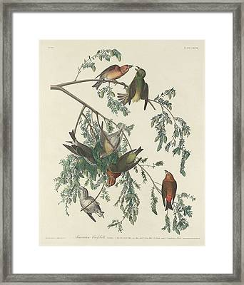 American Crossbill Framed Print by Dreyer Wildlife Print Collections