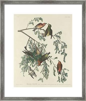 American Crossbill Framed Print by Anton Oreshkin