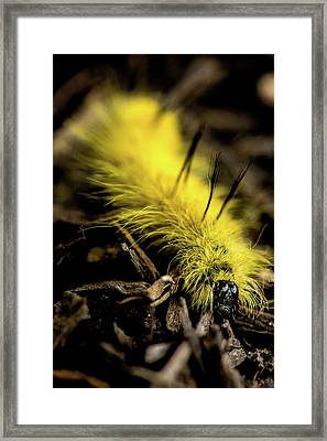 Framed Print featuring the photograph American Dagger Moth Caterpillar by Onyonet  Photo Studios
