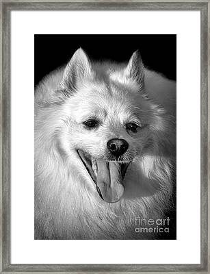 American Eskimo Portrait Framed Print by Olivier Le Queinec