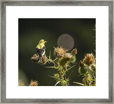 American Gold Finch On A Thistle 2013-1 Framed Print
