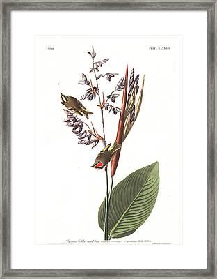 American Golden Crested-wren Framed Print