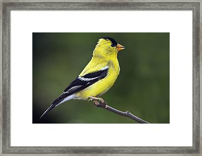 American Golden Finch Framed Print