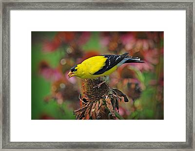 American Goldfinch Framed Print by Dave Chafin