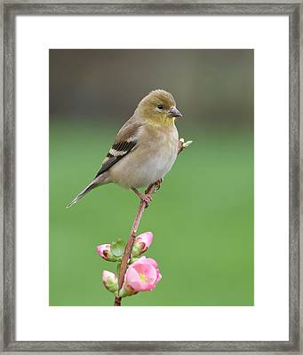 American Goldfinch Framed Print by Doug Herr