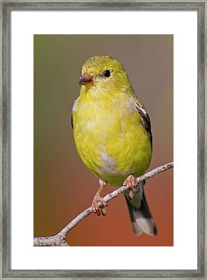 American Goldfinch  Female Framed Print by Bob Decker