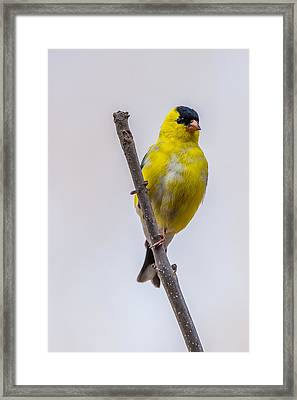 American Goldfinch Front Framed Print by Paul Freidlund