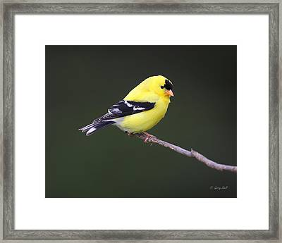 Framed Print featuring the photograph American Goldfinch by Gerry Sibell