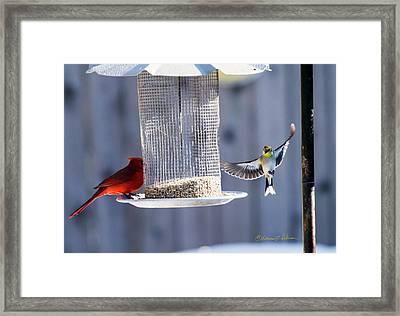 American Goldfinch Inbound Framed Print