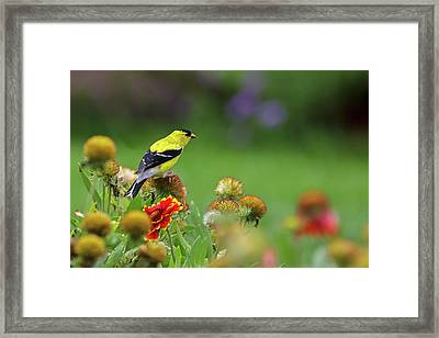 Framed Print featuring the photograph American Goldfinch by Juergen Roth
