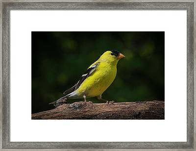 American Goldfinch Male Framed Print by Kenneth Cole